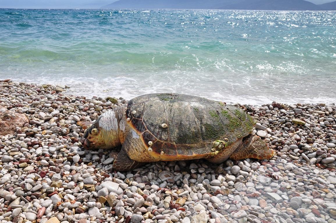 Νεκρή χελώνα καρέτα καρέτα στην Μακύνεια
