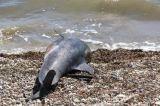 Ναύπακτος: Νεκρό δελφίνι στη Παλαιοπαναγιά