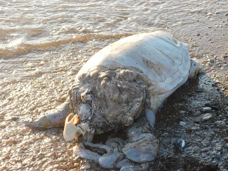 Ναύπακτος: Νεκρή καρέτα-καρέτα στη παραλία Γριμπόβου